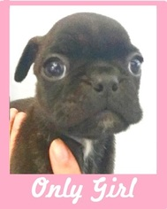 Buggs Puppy For Sale in WITTMANN, AZ, USA