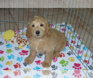 Goldendoodle (Miniature) Puppy for sale in ORO VALLEY, AZ, USA