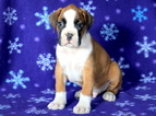 Boxer Puppy For Sale in MOUNT JOY, PA, USA