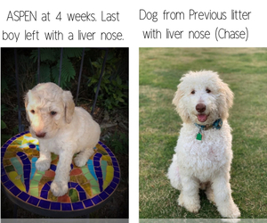 Goldendoodle Puppy for sale in ZEBULON, NC, USA