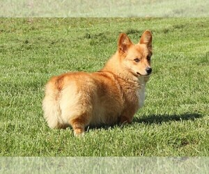 Mother of the Pembroke Welsh Corgi puppies born on 03/04/2021