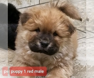 Chow Chow Puppy for Sale in BELVILLE, North Carolina USA