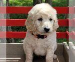 Small #4 Goldendoodle-Poodle (Miniature) Mix