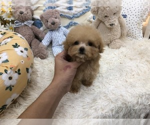 Poodle (Toy) Puppy for sale in HILO, HI, USA
