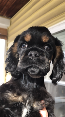 Cocker Spaniel Puppy for sale in MILFORD, NH, USA