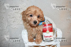 Poodle (Toy)-Shih Tzu Mix Puppy For Sale in SANGER, TX, USA