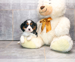 Cavalier King Charles Spaniel Dog for Adoption in CLEVELAND, North Carolina USA
