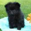 Pomeranian Puppy For Sale in GAP, PA, USA