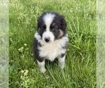 Small #21 Australian Shepherd