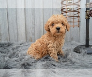 Poodle (Miniature) Puppy for sale in HONEY BROOK, PA, USA