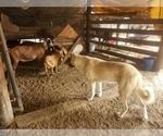 Small #10 Anatolian Shepherd-Maremma Sheepdog Mix
