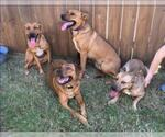 Small Photo #519 Collie-Dogue de Bordeaux Mix Puppy For Sale in Dallas, TX, USA