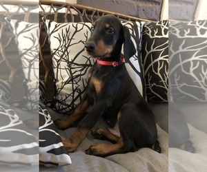 Doberman Pinscher Puppy for Sale in EDGEWOOD, New Mexico USA