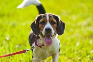 Beagle Mix Dog For Adoption in Miami, FL