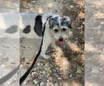 Small #55 Bearded Collie Mix