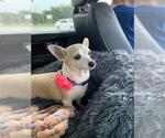 Small Photo #36 Chihuahua Puppy For Sale in Plantation, FL, USA