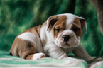 Bulldog Puppy For Sale in CUYAHOGA FALLS, OH, USA