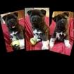 Akita Puppy For Sale in CHESAPEAKE, VA, USA