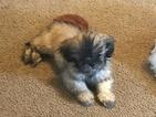 Shih Tzu Puppy For Sale in PORT ORCHARD, WA, USA