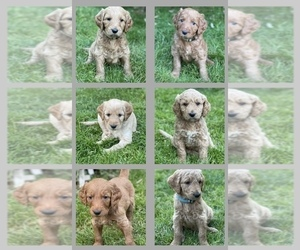 Goldendoodle Puppy for sale in KENT, WA, USA