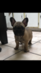 French Bulldog Puppy For Sale in REDWOOD CITY, CA, USA