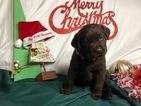 Small #45 Labrador Retriever