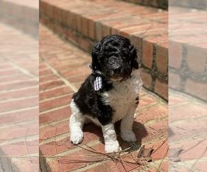 Poodle (Standard) Puppy for sale in MOULTRIE, GA, USA