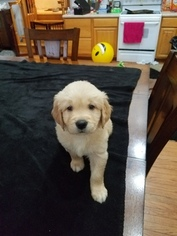 Golden Retriever Puppy For Sale in EVANSDALE, IA, USA