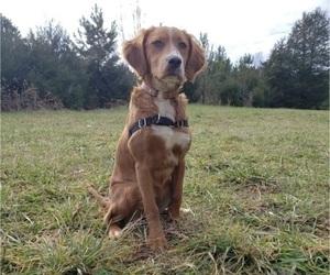 Irish Setter Puppy for sale in HUNTERSVILLE, NC, USA