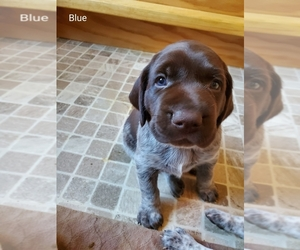 German Shorthaired Pointer Puppy for sale in HARMONY, PA, USA