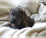 Small Photo #4 Cane Corso Puppy For Sale in SAN ANTONIO, TX, USA