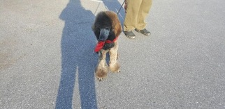 Poodle (Standard) Puppy For Sale in CROFTON, MD