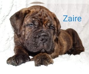 Bullmastiff Puppy for Sale in VERONA, Missouri USA