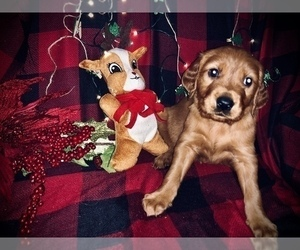 Golden Retriever Puppy for Sale in PLATTSBURGH, New York USA