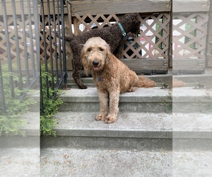 Mother of the Bernedoodle-Goldendoodle Mix puppies born on 05/28/2021