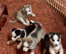 Siberian Husky Puppy For Sale in MONTEVALLO, AL,