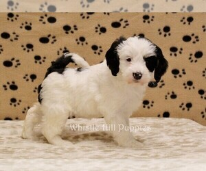 Miniature Bernedoodle Puppies For Sale Near Cornwall On