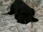 AKC Miniature Schnauzer Puppy