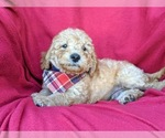 Small #3 Labradoodle