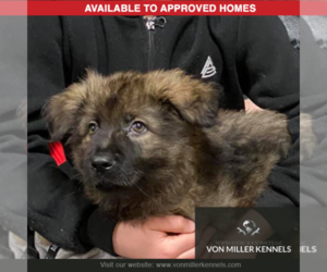 German Shepherd Dog Puppy for Sale in LONG GROVE, Illinois USA
