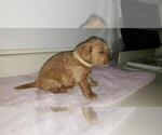 Small Photo #2 Goldendoodle Puppy For Sale in FROSTPROOF, FL, USA