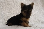 Yorkshire Terrier Puppy For Sale in MILLERSBURG, OH,