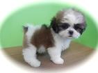 Shih Tzu Puppy For Sale in HAMMOND, IN, USA