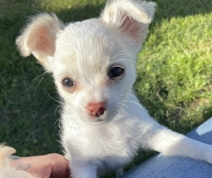 Chihuahua Puppy for sale in NEVADA, TX, USA