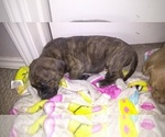 American Pit Bull Terrier-Cane Corso Mix Puppy For Sale in TOMBALL, TX, USA