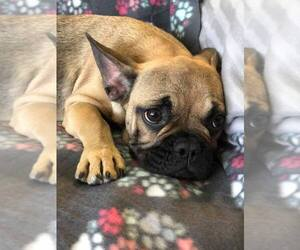 French Bulldog Puppy for sale in PERRYVILLE, MD, USA