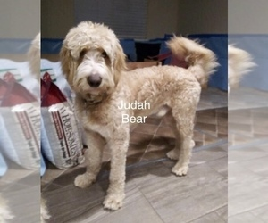 Father of the Goldendoodle puppies born on 05/21/2021