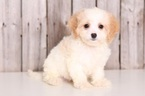 Cavachon Puppy For Sale in MOUNT VERNON, OH, USA