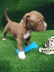 American Bully Puppy For Sale in BEAR GAP, PA, USA