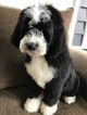 Bernedoodle-Poodle (Standard) Mix Puppy For Sale in RICHMOND, IL, USA